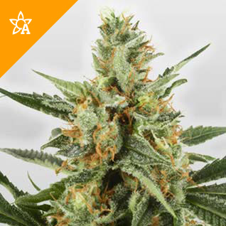 WSS Skunk Automatic Hanfsamen - Weed Seed Shop