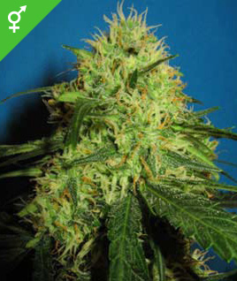 Semillas de Big Bud