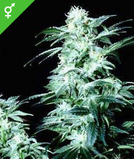 Semillas regulares de Crystal - Weed Seed Shop