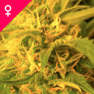 Semillas de Northern Lights Feminizada