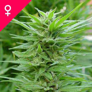 Semillas de Pure Power Plant Feminizada
