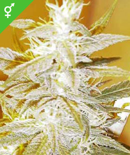 Semillas regulares de Swiss Miss - Weed Seed Shop