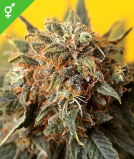 California Orange Bud